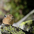 Pika by Ronnie and Frances Howard