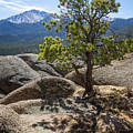 Pikes Peak Bristlecone by Tim Newton