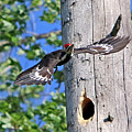 Pileated #27 by James F Towne