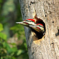 Pileated #29 by James F Towne