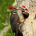 Pileated #30 by James F Towne