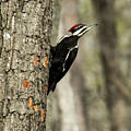 Pileated About To Take Flight by Douglas Barnett