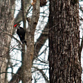Pileated Billed Woodpecker by Douglas Barnett