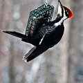 Pileated Billed Woodpecker Feeding 1 by Douglas Barnett