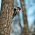 Pileated Billed Woodpecker Pecking 2 by Douglas Barnett