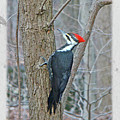 Pileated Woodpecker - Dryocopus Pileatus by Mother Nature