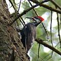 Pileated Woodpecker by Ben Upham III