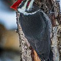 Pileated Woodpecker by Constance Puttkemery