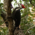 Pileated Woodpecker by Debbie May