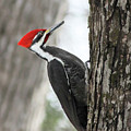 Pileated Woodpecker In Spring by Mircea Costina Photography
