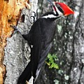 Pileated Woodpecker by LaDora Sims