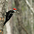 Pileated Woodpecker Looking For A Perspective Mate by Douglas Barnett