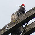 Pileated Woodpecker On A Power Pole by Ben Upham III