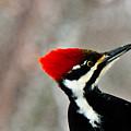 Pileated Woodpecker Up Close by Douglas Barnett