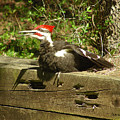 Pileated Woodpecker1 by Torie Tiffany