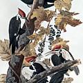 Pileated Woodpeckers by John James Audubon