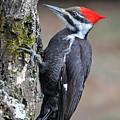 Pileated Woopecker  Female by Alan Lenk