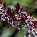Pin Cherry Blossoms by Dan Jordan