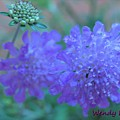 Pin Cushion Flower by Wendy Fox
