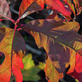 Pin Oak Leaves by Chris Scroggins