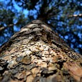 Pine by Alexey Kezin