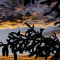 Pine Cone Sunset by Nick  Boren