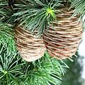 Pine Cones by Terri Behar