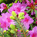 Pine Conifer Art Print Pink Azaleas Flower Garden Baslee Troutman by Baslee Troutman