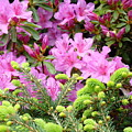Pine Conifer Pink Azaleas 30 Summer Azalea Flowers Giclee Art Prints Baslee Troutman by Baslee Troutman