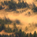 Pine Forest And Fog by John Burk