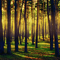 Pine Forest In La Boca Del Asno-segovia-spain by Hans Schrodter