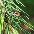 Pine Fresh by Martina Fagan