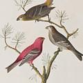 Pine Grosbeak by John James Audubon