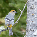 Pine Grosbeak by Mike Timmons