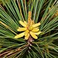 Pine In Bloom by Royal Tyler