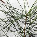 Pine by Marissa Mancini