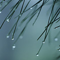 Pine Needle Raindrops by Greg Vaughn - Printscapes