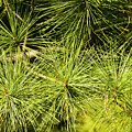 Pine Needles by Brian Kenney