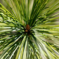 Pine Needles by Laura Kinker