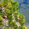 Pine Needles Over Water by Chris Brannen