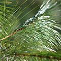 Pine Needles Series 1 by Robin Lynne Schwind