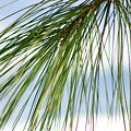 Pine Needles Series 3 by Robin Lynne Schwind