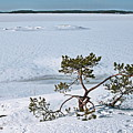 Pine On A Rock by Esko Lindell
