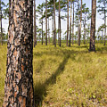Pine Savanna II by Bob Decker