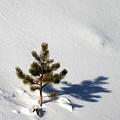 Pine Shadow by Shane Bechler