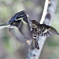 Pine Siskins Fighting 6829 by Michael Peychich