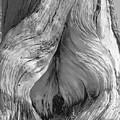Pine, Split Trunk, Sierra Nevada Mountains, Ca by Scott Griswold