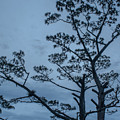 Pine Tree Antigua Guatemala by Totto Ponce