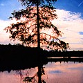 Pine Tree By Peck Lake 5 by Lyle Crump