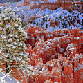 Pine Tree In Bryce Canyon by Jorge Moro